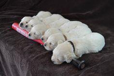 Newborn Golden Retriever Puppies  <3  | Pet Photography | Dogs | Puppy |