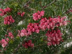 Grevillea Tucker Time Fruit Box --- For more Australian native plants visit austraflora.com
