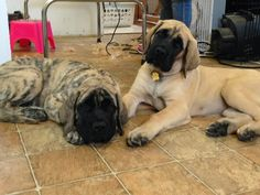 Well the babies have all been gone for a month now. It' seems like forever ago. I thought for anyone keeping up to date on our saga woul. Black Lab Puppies, Dogs And Puppies, Doggies, Mastiff Puppies, Corgi Puppies, Big Dogs, Giant Dogs, Old English Mastiffs, Cane Corso Mastiff