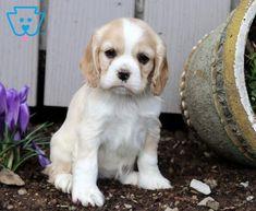 Brianna | Cocker Spaniel Puppy For Sale | Keystone Puppies Spaniel Puppies For Sale, Cocker Spaniel Puppies, Cute Baby Animals, Cute Babies, Labrador Retriever, Dogs, Cocker Spaniel Pups, Labrador Retrievers, Pet Dogs