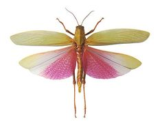 godofinsects.com :: Grasshopper (Lophacris cristata)