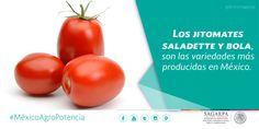 Los jitomates saladette y bola, son las variedades más producidas en México. SAGARPA SAGARPAMX #MéxicoAgroPotencia