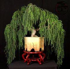 Acacia howittii  bonsai