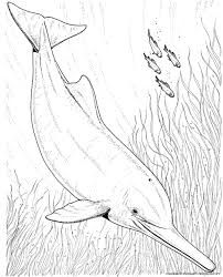 Image Result For Pink River Dolphin Drawing Dessin Idee