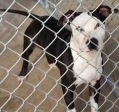 West Memphis, AR - American Pit Bull Terrier. Meet Tyler a Dog for Adoption.