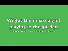 ▶ Wiglet the micro piglet playing in the garden - YouTube