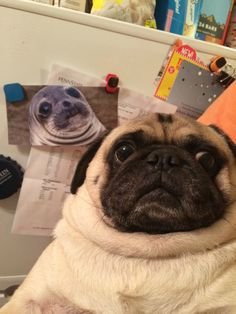 10 Pug Photobombs Guaranteed To Put A Smile On Your Face