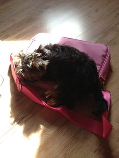 Yorkshire terrier  on my laptop case lol