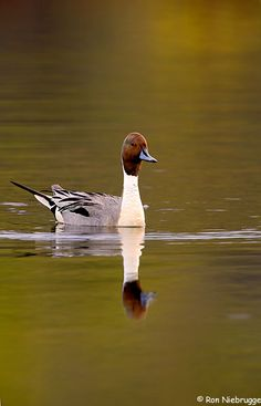 Anas acuta,Northern Pintail near Anchoarge, Alaska
