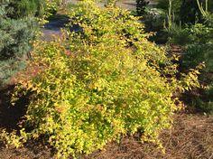 Symphiocarpus