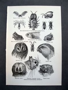 illustration from antique encyclopedia - EYES of NOCTURNAL ANIMALS