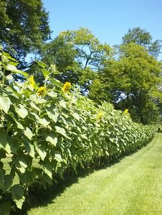 Beautiful natural fence! $5 in sunflower seeds bought us 200 feet of privacy that was over 10 feet tall! Great boundary for kids too! Plant 2 rows!
