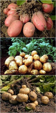 Vegetables Photography, Chicken Garden, Small Farm, Vegetable Garden, Bonsai, Onion, Food Photography, Succulents, Healthy Recipes