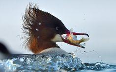 Esta fotografia de um pato-mergulhão fêmea comum apanhar um peixe foi tomada pelo fotógrafo da vida selvagem Henryk Janowski que conseguiu centímetros de distância da ação usando um dossel engenhoso flutuante trabalhada para se parecer com um cisne.  Imagem: Henryk JANOWSKI / Caters NEWS