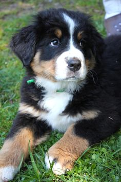 My Bernese Mountain Dog Pup Oscar