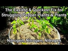 Growing Peppers, Pepper Plants, Rustic Gardens, Hobby Farms, Small Farm, Just Kidding, Garden Projects, Vegetable Garden, Gardening Tips
