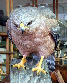 Life Sized Red Shoulder Hawk - carved by Greg Pedersen