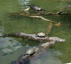 tortoises riding clocodiles.