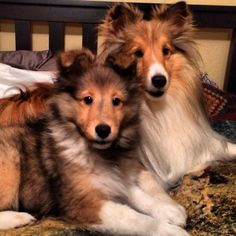 Shelties will always have a special place in my heart.