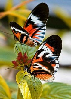 Madame Butterfly, Butterfly Kisses, Butterfly Flowers, Butterfly Wings, Beautiful Bugs, Beautiful Butterflies, Amazing Nature, Beautiful Creatures, Animals Beautiful