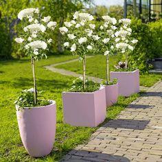 Rozengeur en zonneschijn: deze Rosa Scheewittchen bloeit heel lang en sprookjesachtig mooi! #Intratuin #rozen #tuin #zomer
