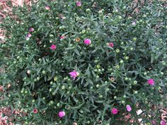 Pink Aster just starting to pop her blooms...