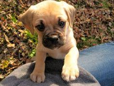 Nigel the Puggle puppy