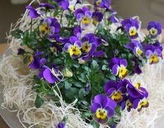 Een paars-geel viooltje een symbool op zich. Het paars van de Goede week verandert in het stralende geel van Pasen: van dood naar leven.