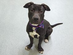 TO BE DESTROYED - SUNDAY - 11/2/14 Manhattan Center -P  My name is GABRIEL. My Animal ID # is A1018468. I am a male black and white pit bull mix. The shelter thinks I am about 1 YEAR    For more information on adopting from the NYC AC&C, or to  find a rescue to assist, please read the following: http://urgentpetsondeathrow.org/must-read/