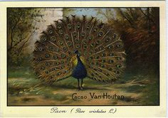 CACAO VAN HOUTEN♥ PEACOCK by patrick.marks,