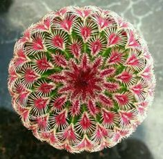 Echinocereus Rigidissimus Rubispinus #Cactusflower