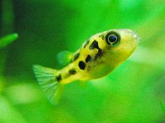 Indian dwarf puffer. Had one once, but didn't know what it was and thus, didn't appreciate it. VERY interesting and smart fish. Also extremely cute.