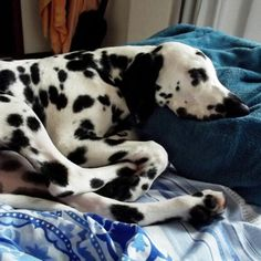 Prosa, 06 meses. #dalmatian