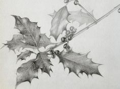 Holly, pencil drawing, botanical, Marjo Hofmann