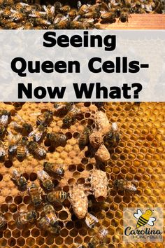 Finding large peanut shaped queen cells in your beehive can be a good sign. Or - not such a good sign. Learn what they mean and when you should be concerned. Bee Facts, Harvesting Honey, Rainwater Harvesting, Beekeeping For Beginners, Bee Swarm, Raising Bees, Buzzy Bee, I Love Bees, Backyard Beekeeping