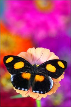 Darrell Gulin - Photograph of Butterfly on Flowers - Catonephele numilia the Grecian Shoemaker