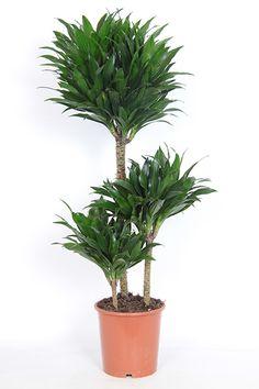Een geweldige Dracaena compacta van ca. 90cm hoog. Deze mooie groene luchtzuiverende kamerplant is van zware kwaliteit en heeft 3 volle toeven. Deze Dracaena hoeft niet per se bij het raam te staan maar mag ook op wat donkerdere plaatsen gezet worden.