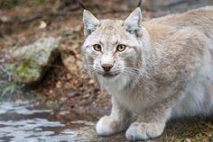Eurasian lynx by Jooihi Eurasian Lynx, Big Cats, Online Art Gallery, Panther, Worlds Largest, Community, Deviantart, Artist, Photography