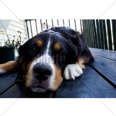 A Bernese Mountain Dog Postcards (Package Of 8) by Admin_CP70839509