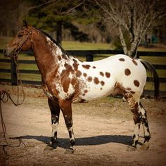 bay spotted blanket - Appaloosa gelding Kobes Thunder HH All The Pretty Horses, Beautiful Horses, Animals Beautiful, Animals And Pets, Cute Animals, Appaloosa Horses, Horse World, Horses For Sale, Horse Farms