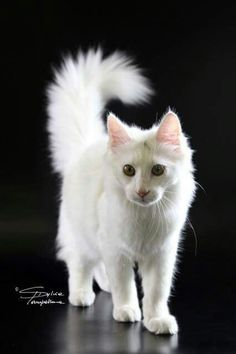 Turkish angora kittens for sale in pa
