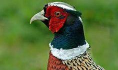 Image result for british pheasant