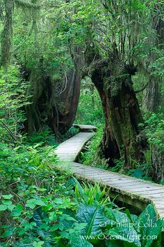 Rainforest Trail in Pacific Rim NP, one of the best places along the Pacific Coast to experience an old-growth rain forest, complete with western hemlock, red cedar and amabilis fir trees. Moss gardens hang from tree crevices, forming a base for many ferns and conifer seedlings. Rainforest Trail, Pacific Rim National Park, British Columbia, Canada, natural history stock photograph, photo id 21061