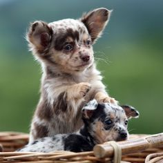 Red Merle chihuahua and Blue Merle Chihuahua! I think I am in love :)
