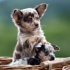 Ahh Blue Merle Chihuahua! @Brenda Sawasky