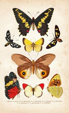 1891 Antique Entomology Chromolithograph Butterflies by carambas