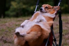 Dogs Doing Funny Things   corgiaddict:corgi wins. dogs don't go in strollers!