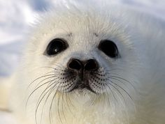 White seal pup ... #PleaseComeCloser  Zoom In - Close Up - Animals
