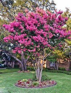 Crepe Myrtle Landscaping, Landscaping Trees, Front Yard Landscaping, Garden Trees, Lawn And Garden, Trees To Plant, Crepe Myrtle Trees, Crepe Myrtle Bush, Garden Design Ideas