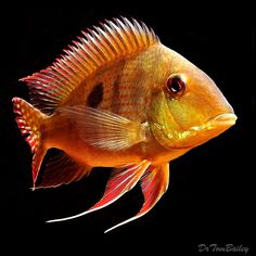 Scientific name: Geophagus dicrozoster